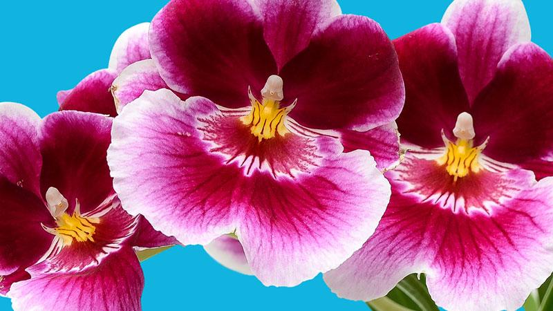 OrchidDaze_800